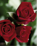 Fairtrade-Blumen der Blumenfarm Credible Blooms aus Kenia